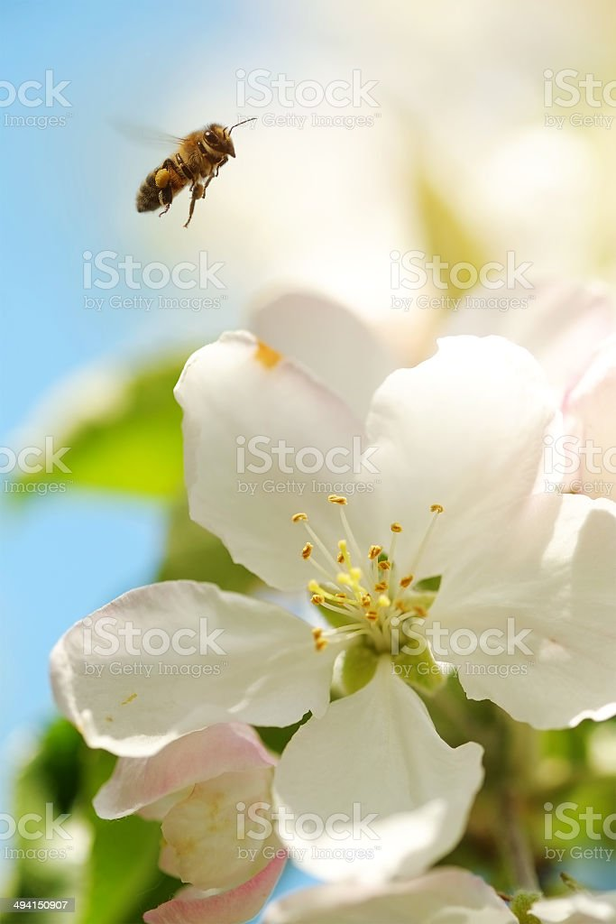 Bee collects pollen from the flowers of apple stock photo