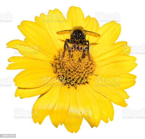 Bee collects pollen from yellow flowers perennial aster isolated on picture id929642040?b=1&k=6&m=929642040&s=612x612&h=dg ygjb6hmcqyot7ijqlg1gi97z bctts3irfpbvwwm=