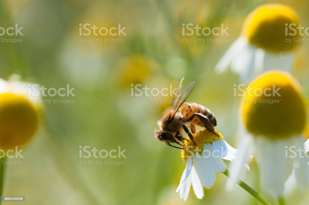 Abeja recoge el polen de flores de manzanilla - foto de stock