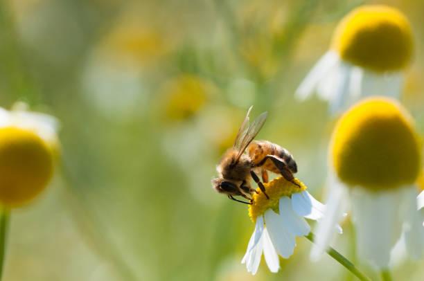 biet samlar pollen på kamomillblommor - biologisk mångfald bildbanksfoton och bilder