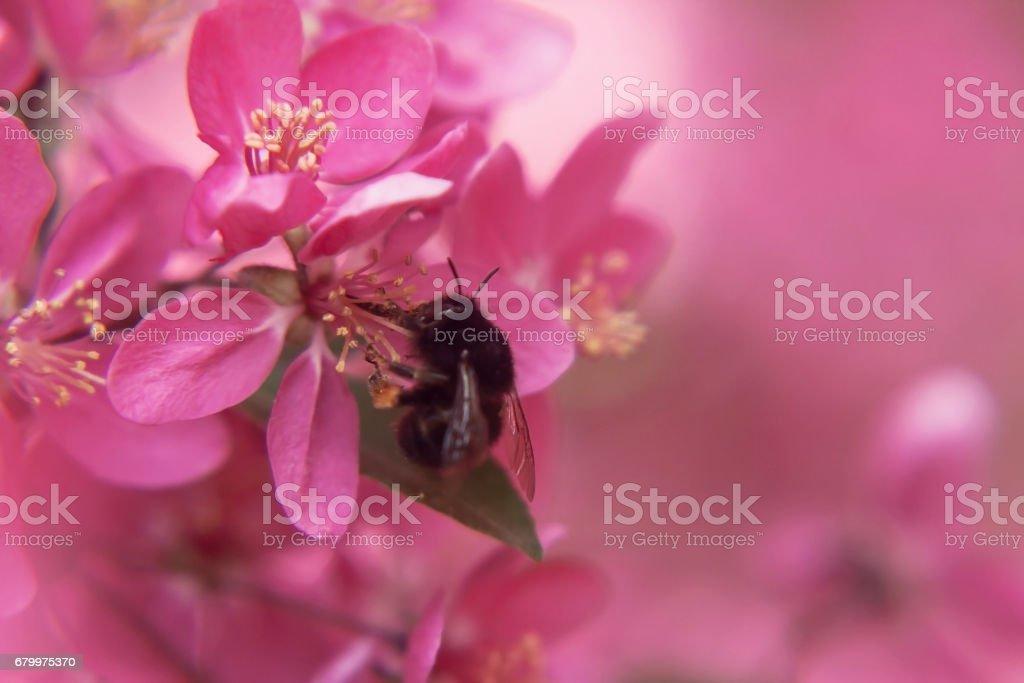 Abeille recueille le pollen sur arbre de belle rose fleurs paradis apple tree close-up dans un doux flou - Photo