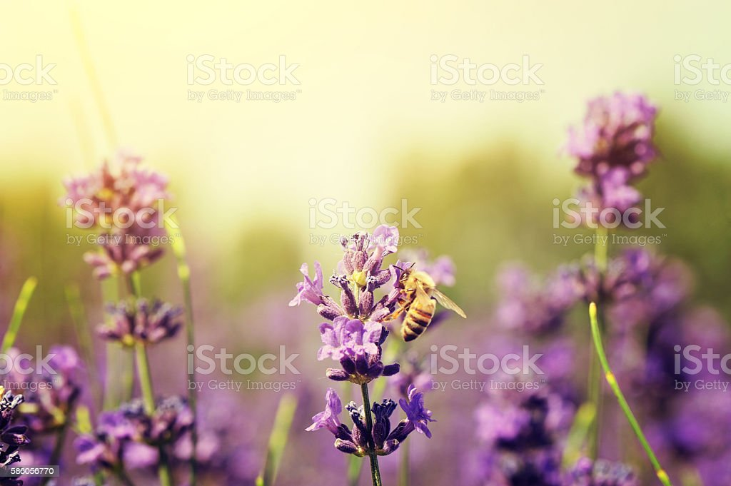 bee collects scented lavender flowers at field stock photo