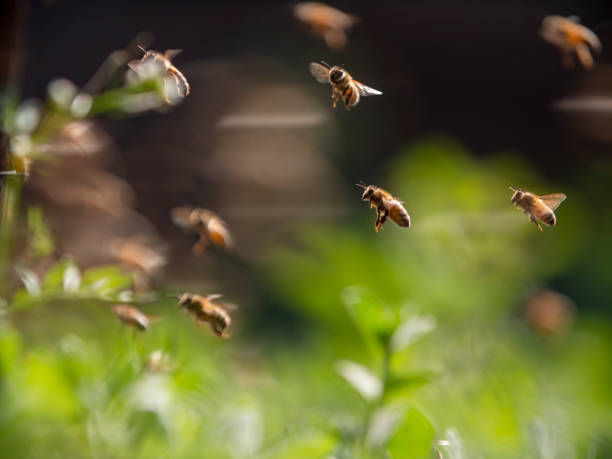 bee colony flying in the spring sunshine stock photo