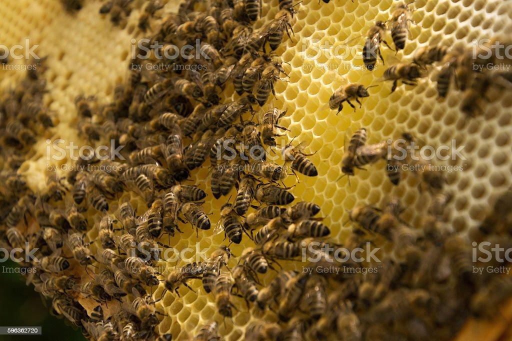 Bee Colony royalty-free stock photo