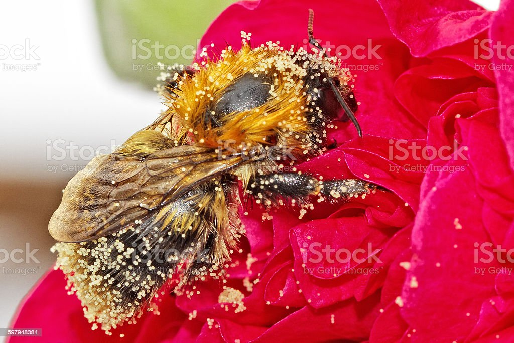 Bee covered in pollen while feeding on a flower stock photo