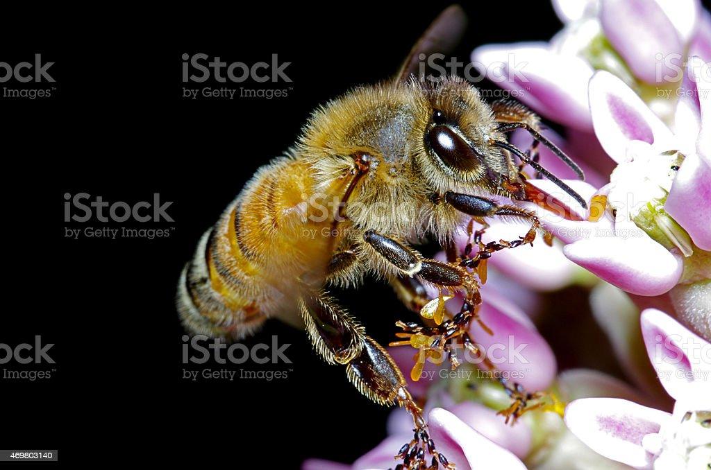 Abeille Manger en petite fleur ros'et blanc - Photo