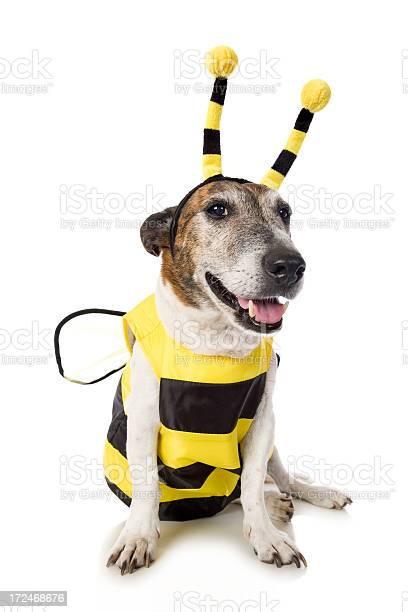 Bee dog picture id172468676?b=1&k=6&m=172468676&s=612x612&h=dsgsvinmdag1mvqurqr0timimds2o 9gcuaphkhllcq=