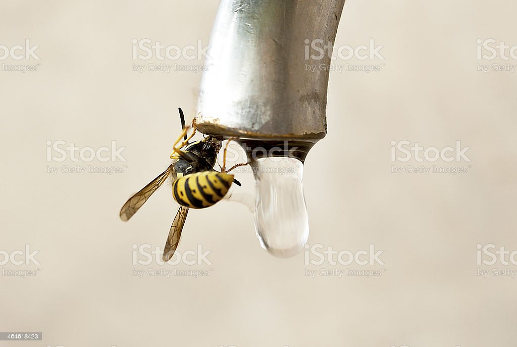 bee drink water royalty-free stock photo