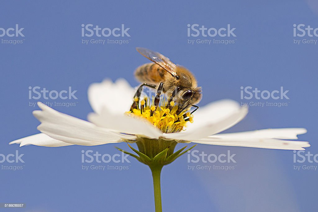 Bee Drinks Honey From Flower stock photo