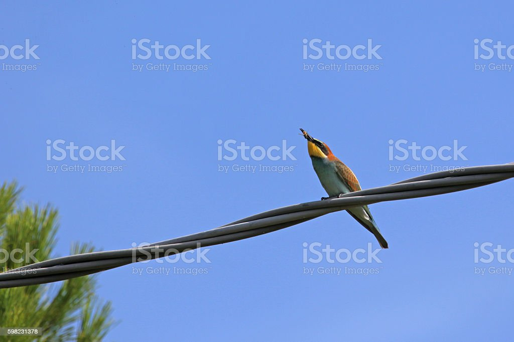 bee eater merops apiaster perched eating wasp Italy Ruth Swan foto royalty-free