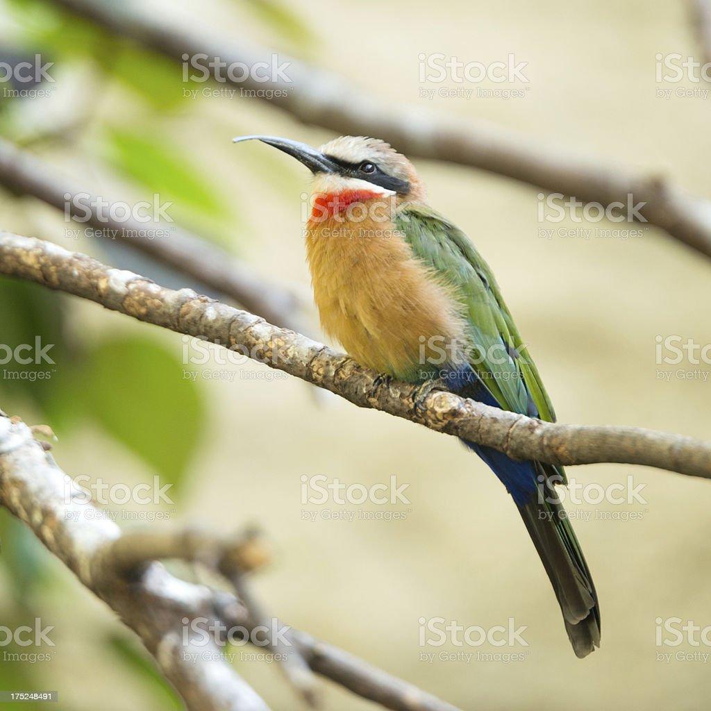 Biene Vogelfamilie, Merops bullockoides, Vögel in Wildlife – Foto