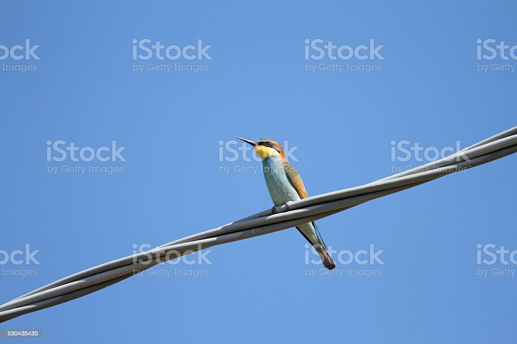 Bee Eater On A Wire Meriops Apiaster Gruccione Stock Photo & More ...
