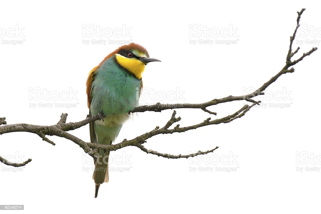 bee eater on white background royalty-free stock photo