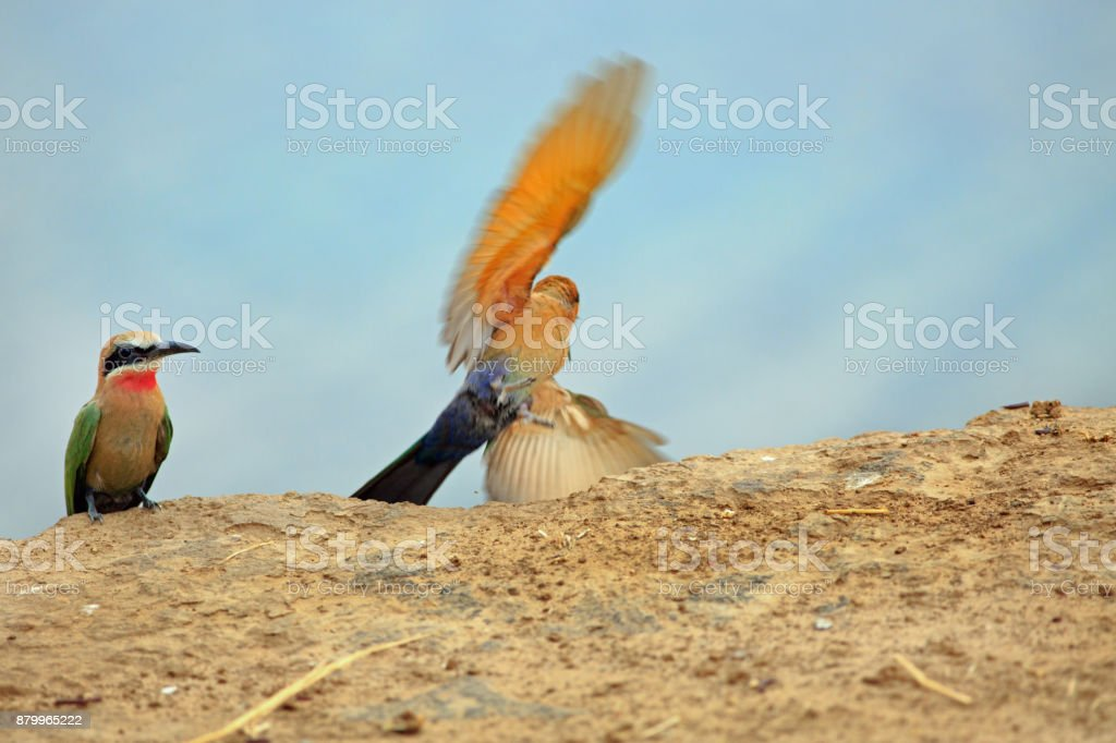 Bee eater with wings flapping while another sits on the edge of the riverbank, South Luangwa, Zambia stock photo