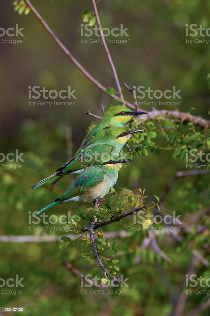 Bee eaters sitting ina row stock photo
