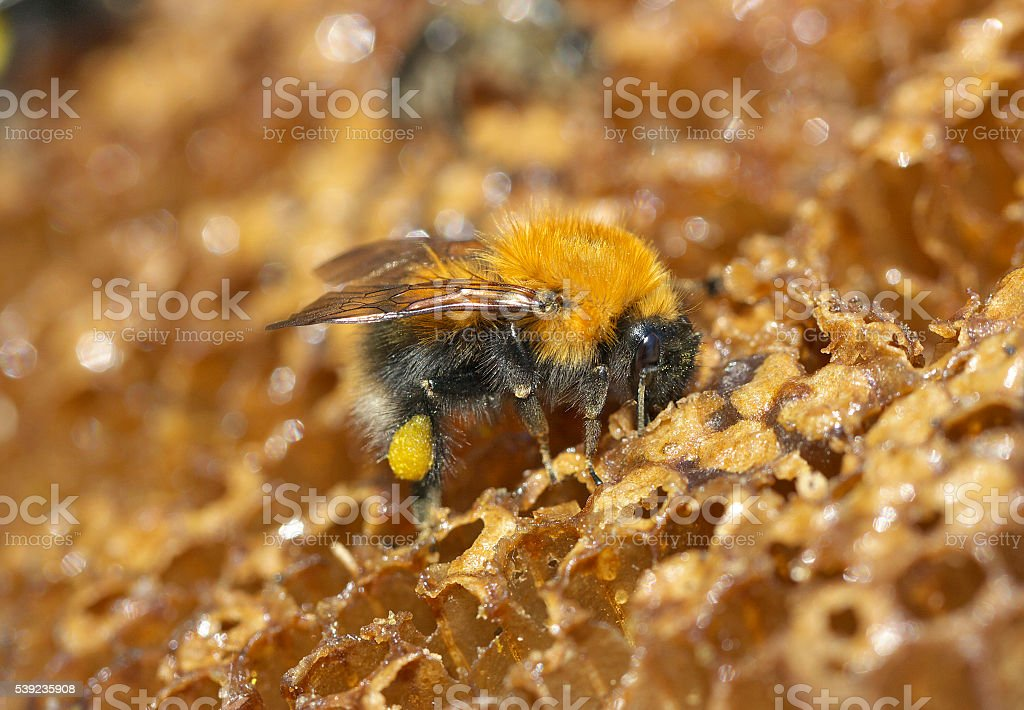 eating honey abeja. foto de stock libre de derechos