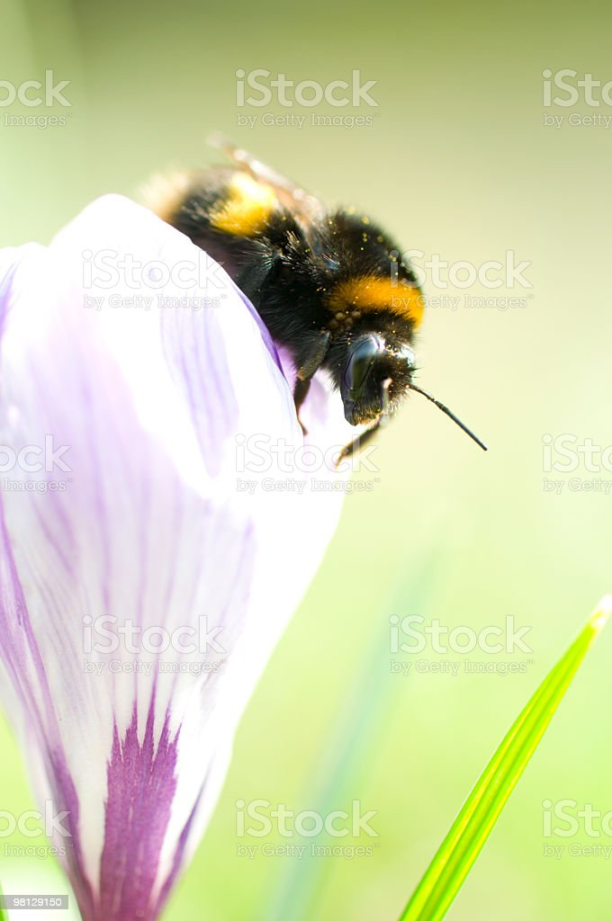 bee emerging from flower royalty-free stock photo