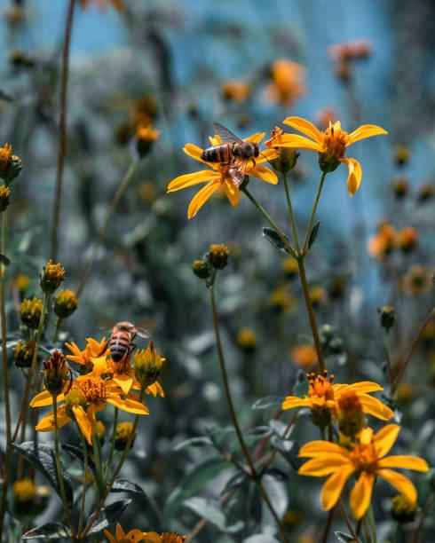 Bee extracting nectar from a yellow daisy stock photo