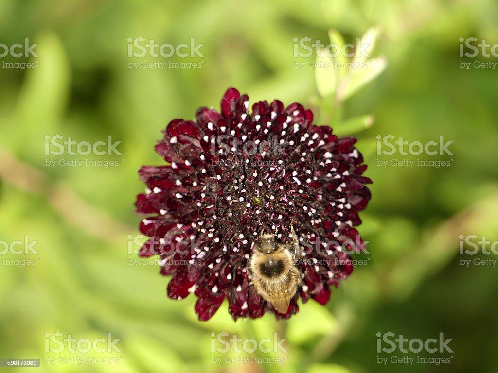 Bee feeding on scabious 2 - closeup stock photo