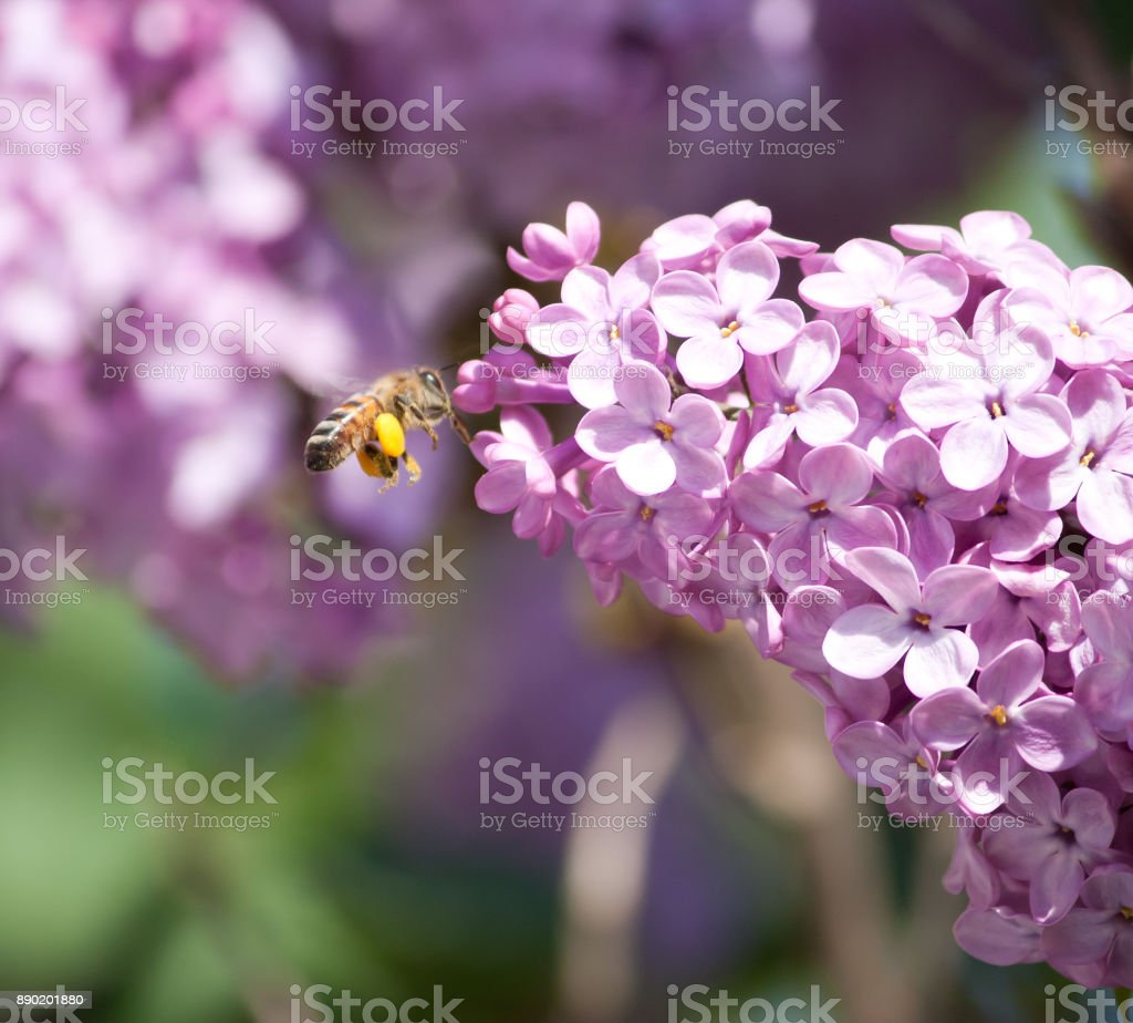 A bee flies around the flower stock photo