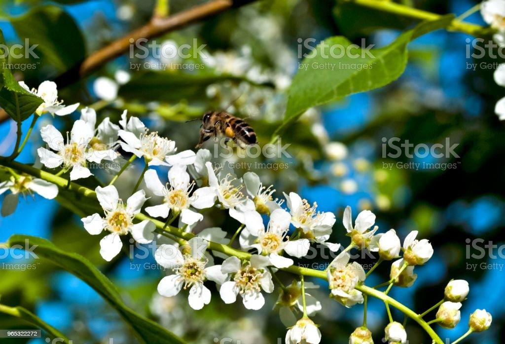 bee flies up to bird cherry blossoms zbiór zdjęć royalty-free