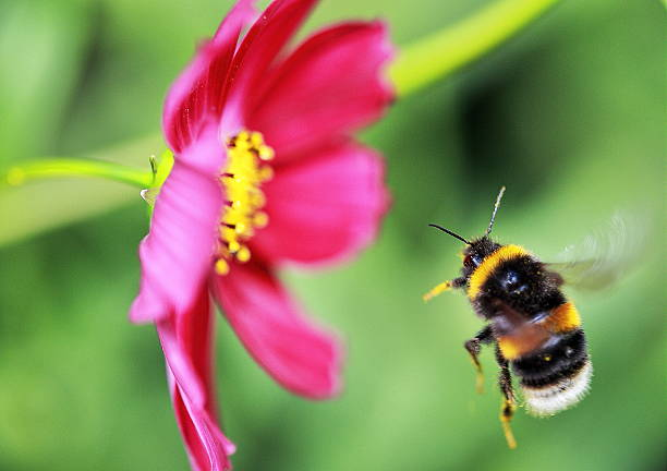 bee flight - bumblebee stock pictures, royalty-free photos & images