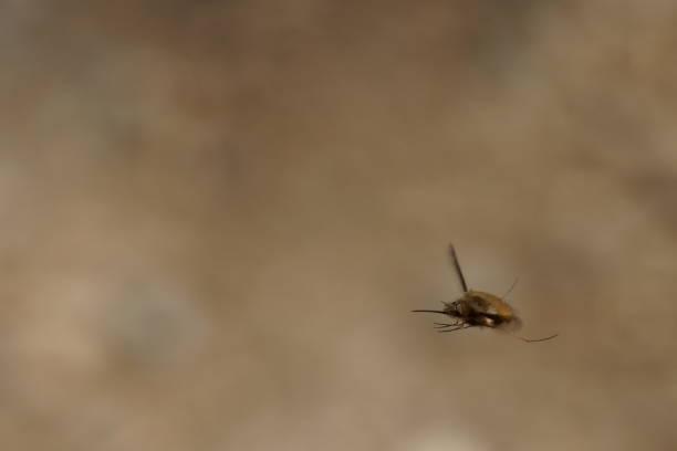 Bienenfly – Foto