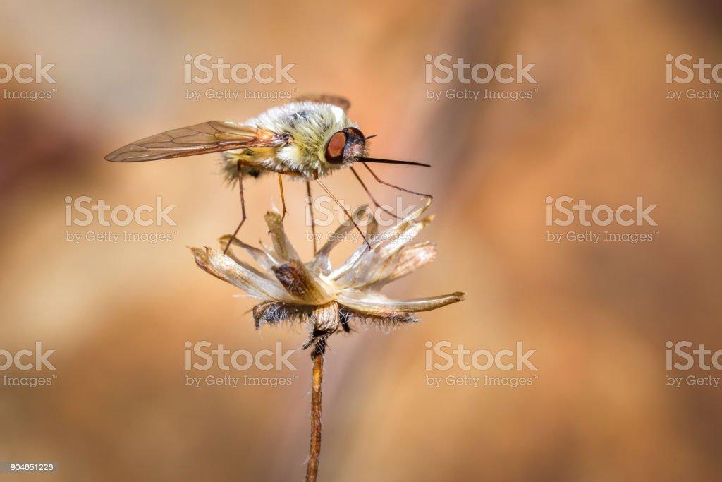 Bee fly (Bombyliidae) resting on a flower, Nosy Komba, Madagascar stock photo