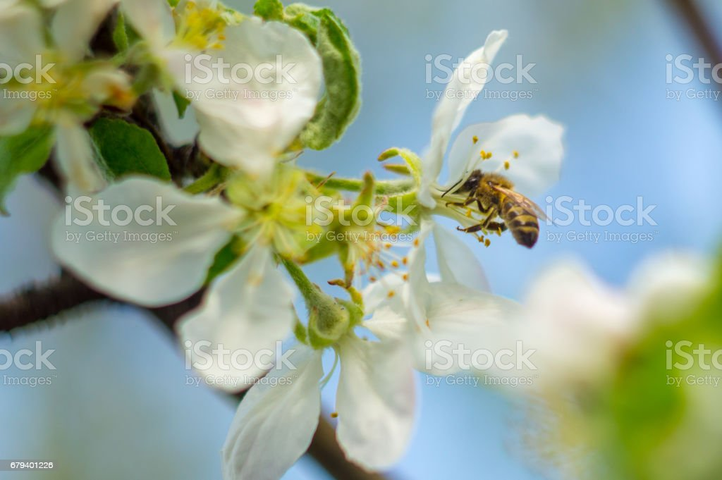 bee fly to the white flower in sunny day of spring with blue sky royalty-free stock photo