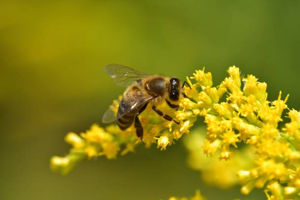 Bee flying and collecting fine dust from blossom flower stock photo