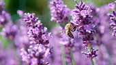DOF, MACRO, CLOSE UP: Hardworking bee flying around lavender bloom collecting pollen on sunny summer day. Tiny animal pollinating lavandula bushes as it gathers nectar from a beautiful purple blossom.