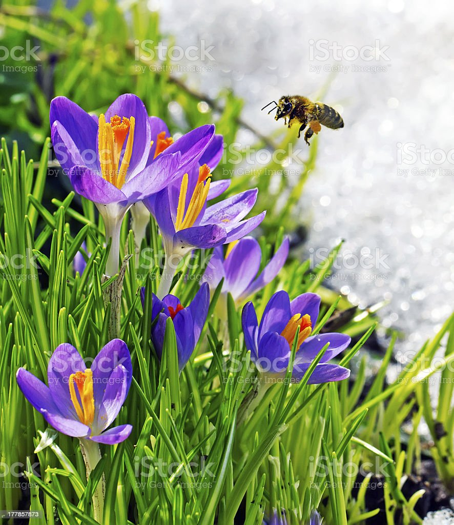 bee flying near first spring flowers royalty-free stock photo