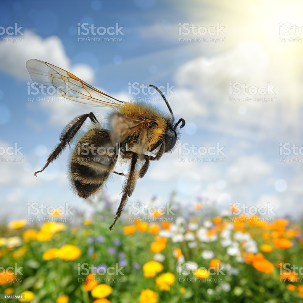 Bee flying over colorful flower field stock photo