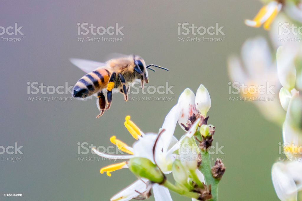 Bee flying over the flower of Chlorophytum krookianum stock photo