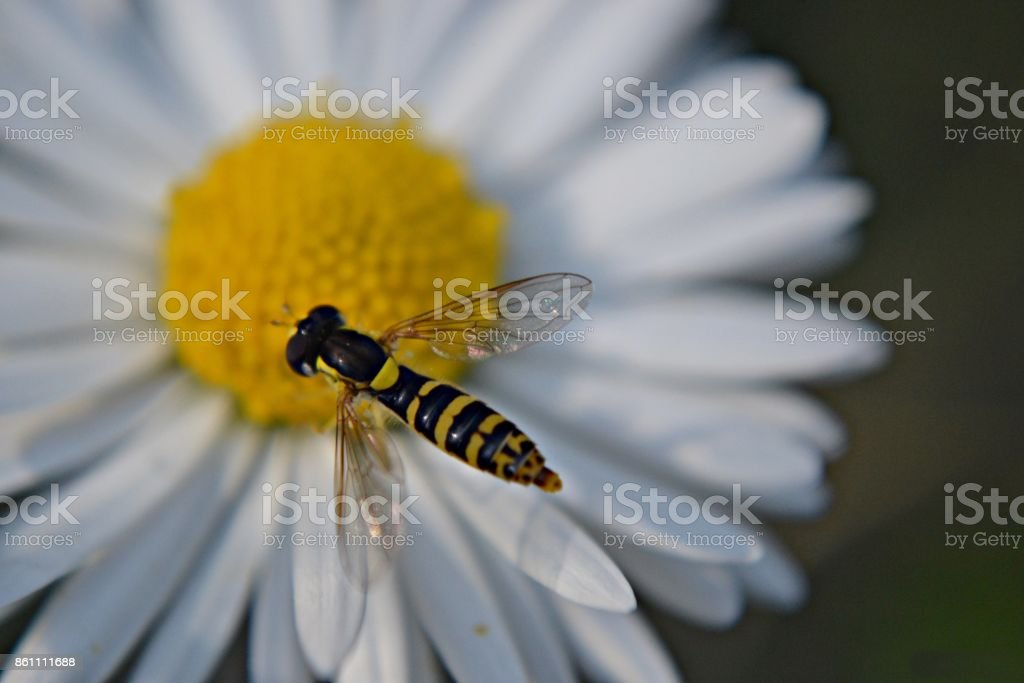 Bee flying over the white daisy flower stock photo