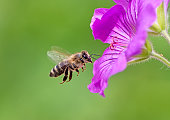 Honeybee flying to a purple geranium flower blossom