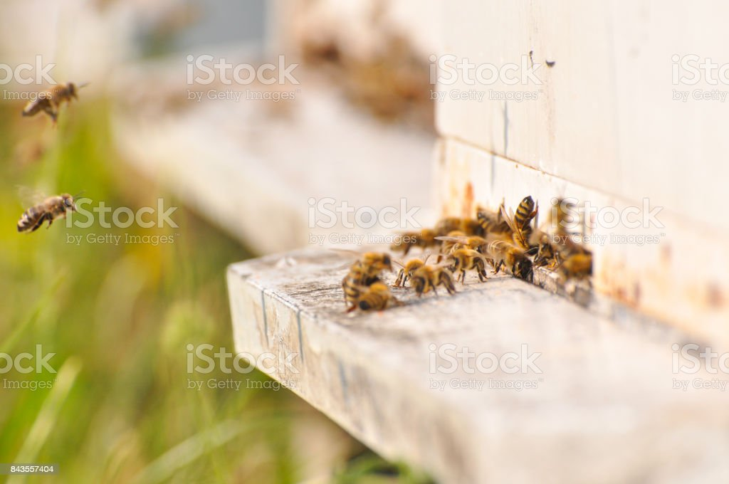 Bee flying to hive in apiary. stock photo