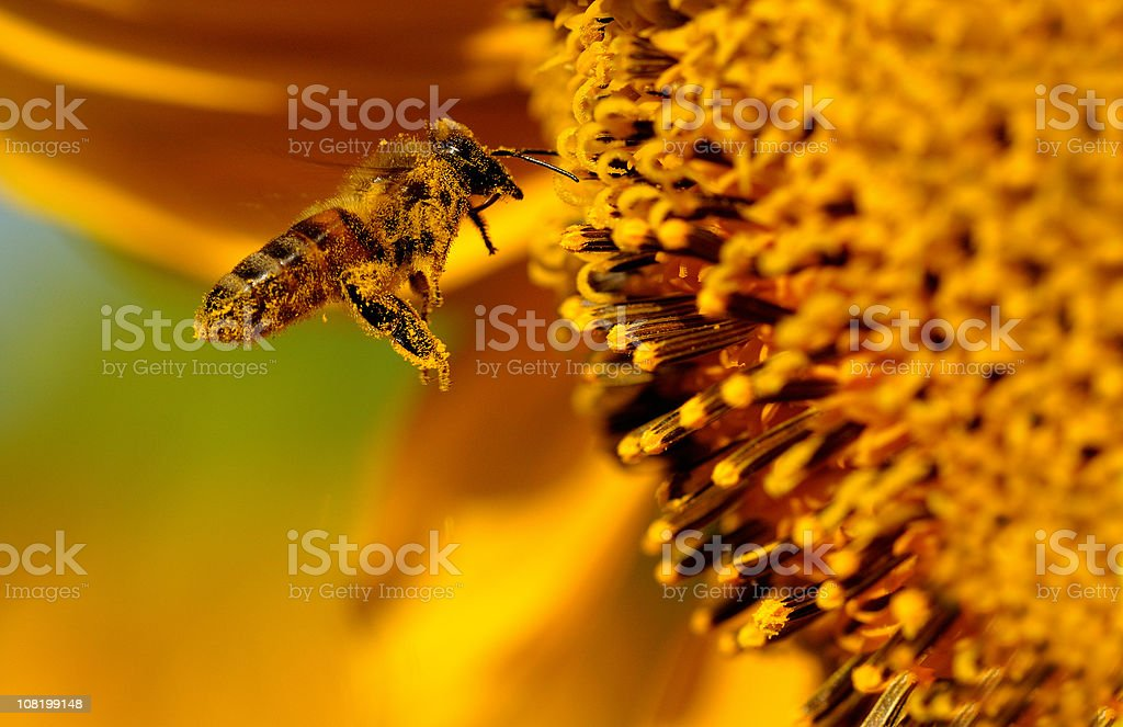 Bee Flying to Sunflower Pollen royalty-free stock photo