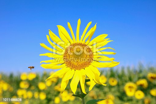 Bumble bee flying towards a large, yellow sunflower in a field, on a clear day. The photo is taken in Gruenwald Bavaria Germay.