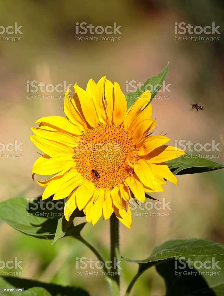 Bee flying towards a sunflower stock photo