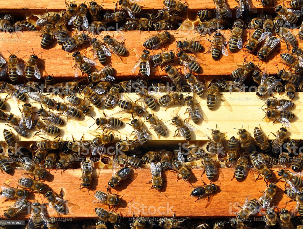 bee frames with bees stock photo