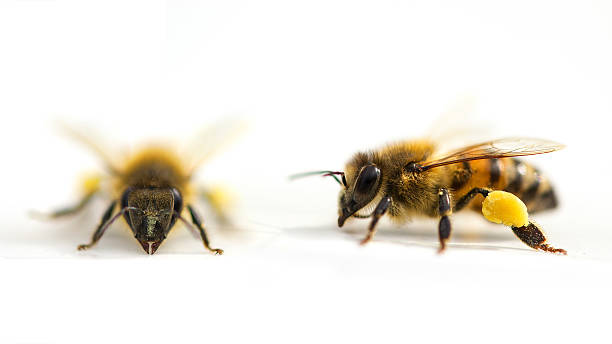 Bee front side - lateral side isolated white background stock photo