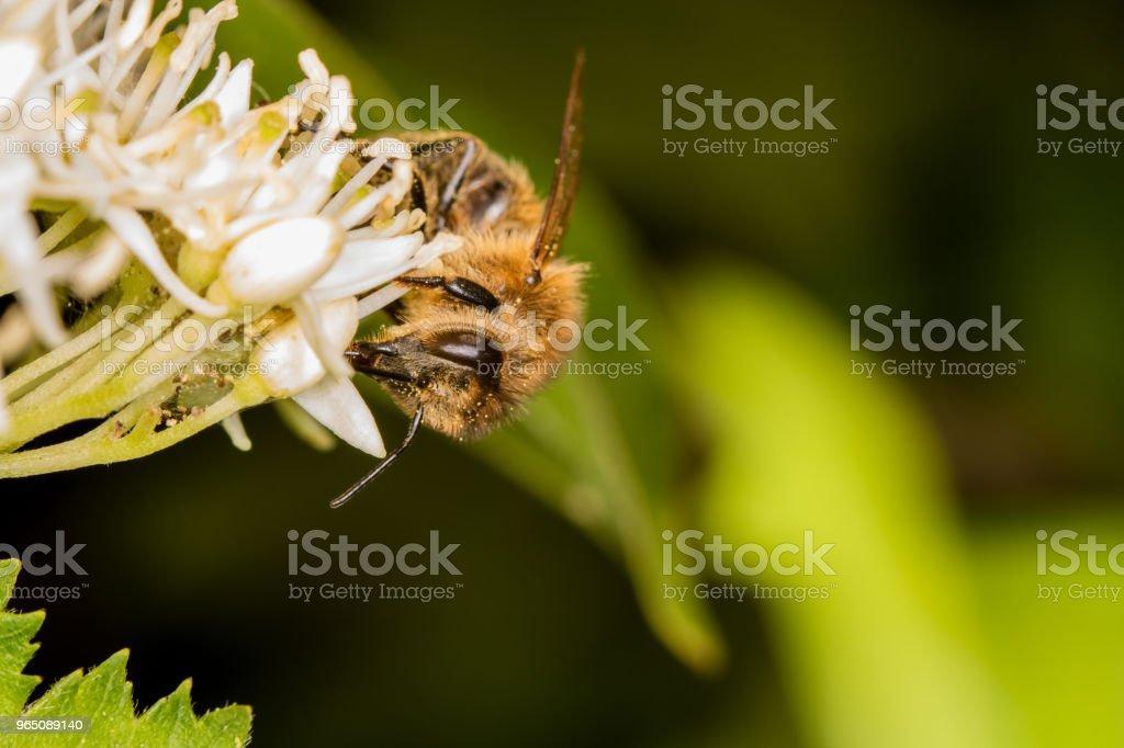 A bee full of pollen collecting nectar zbiór zdjęć royalty-free