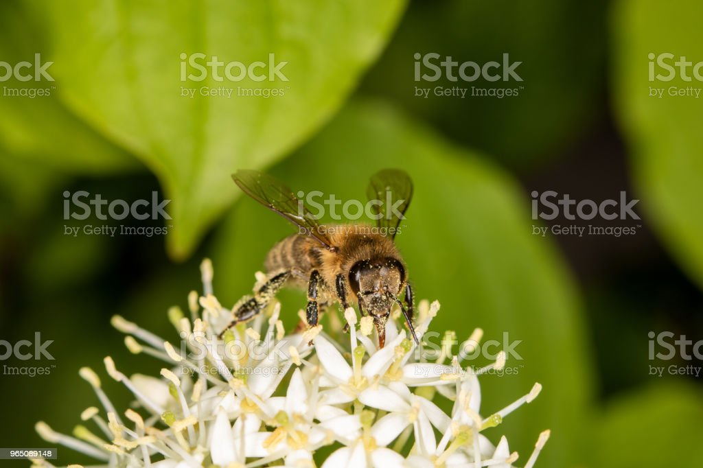A bee full of pollen collecting nectar zbiór zdjęć royalty-free