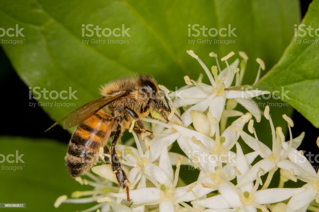 A bee full of pollen collecting nectar royalty-free stock photo