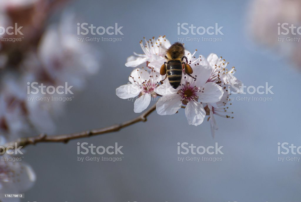 Bee gathering nectar and pollen royalty-free stock photo