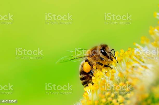 Photo of Bee gathering nectar (with copyspace)