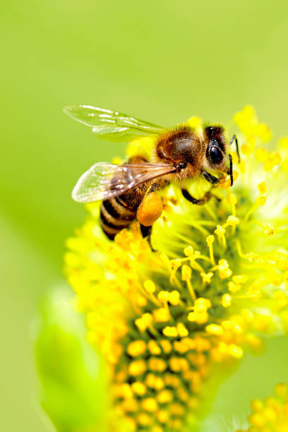 Bee gathering nectar (with copyspace) stock photo