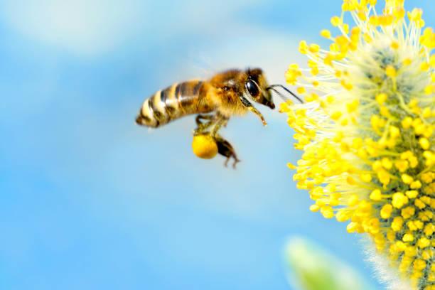bijen verzamelen van nectar (met copyspace) - bestuiving stockfoto's en -beelden