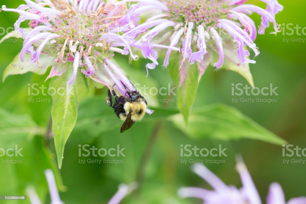 Bee gathering pollen from a wildflower stock photo